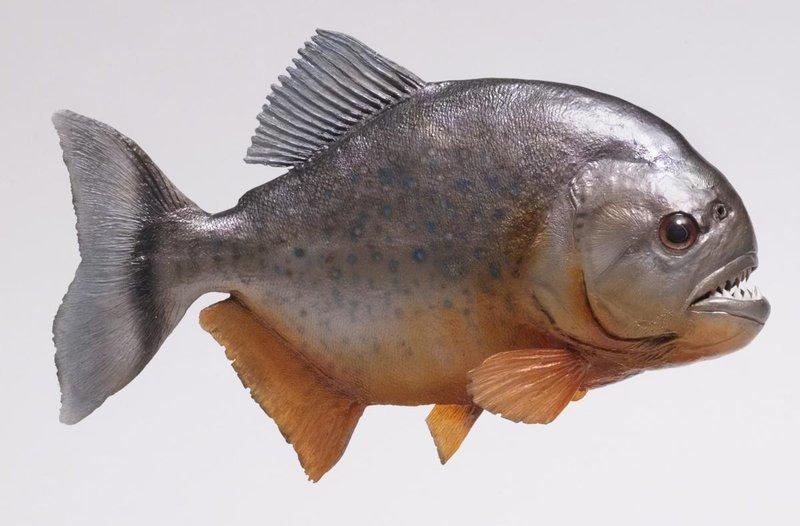 1200-157279096-piranha-fish.jpg