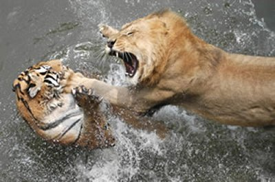 lion-vs-tiger.jpg.a41786ce12ea9b00902e44e9003aa045.jpg
